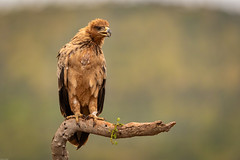 Tawny Eagle / Savannenarend (Wim Hoek) Tags: birds roofvogel scavengershillhide savannenarend havikachtigen zimangagamereserve afrika accipitridae africa aquilarapax birdofprey raptor raptors roofvogels savannearend tawnyeagle vogels uphongolonu kwazulunatal southafrica za