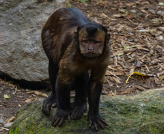 I Am Going To Stick That Camera Right Up Your **** (Steve Taylor (Photography)) Tags: noportraits animal brown green grey stone rock newzealand nz southisland canterbury christchurch leaf bark texture blackcappedcapuchin capuchin monkey willowbankwildlifereserve