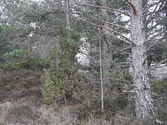 CairngormsNational Park (BSCG (Badenoch and Strathspey Conservation Group)) Tags: cnp cb felling clearfell march evening nativewoodland pinewood pine