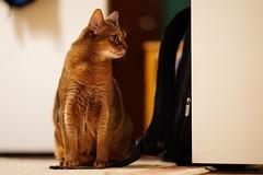 Lizzie posing 😼 (DizzieMizzieLizzie) Tags: posing floor wall wood 2019 gm 85mm f14 t animal dof bokeh golden classic pose a7iii ilce7m3 ilce fe chat gatos neko sony pisica meow kot katze katt gatto gato feline cat portrait dizziemizzielizzie lizzie aby abyssinian