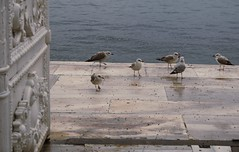 gathering (Insher) Tags: dolmabahçe turkey istanbul seagull