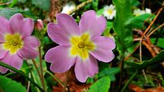 Dusky Pink Primrose (Mike Slade.) Tags: primrose plant wild pink flower primulavulgaris spring whitleigh woods plymouth devon england fujifilmfinepixx30 copyright ©mikeslade