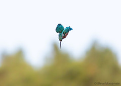 Kingfisher dive (Steve Moore-Vale) Tags: kingfisher alcedo atthis alcedoatthis suffolk lackfordlakes lackford diving hunting fishing avian birds bird nature wildlife animal uk england britain dive