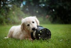 Lyra (Golden Retriever) (Aileen Rese) Tags: golden retriever puppy welpe goldie playing playful spielen garden garten green grün outdoor dog hund pet animal haustier tier tierfotografie baby