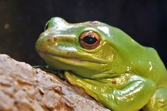 DSCF5148 (Josie Doefer) Tags: detroitzoo wild animals frogs amphibians green tree