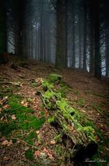 Bois mort, mousse, brume... (Tormod Dalen) Tags: tokina1735 pentaxart forest forêt wood nature fog brume mousse moss sl17