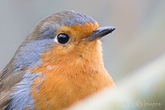 Robin. (JJB Images) Tags: beautiful canon canoneos6d countryside country canonef600mmf4islens england focus jjbimages kennetandavoncanal wiltsandberkscanal lumix nikon nature natural pewsey panasonic royalwoottonbassett swindon wiltshire wildlife wild free