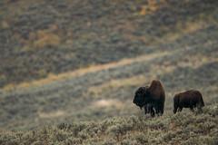 (Samuel Raison) Tags: bison buffalo wildlife nature naturephotography wildlifephotography yellowstone yellowstonenationalpark yellowstonewildlife lamarvalley nikon nikond800 nikon4600mmafsgvr