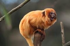 Golden Lion Tamarin (charliejb) Tags: mammal 2019 bristolzoo bristolzoogardens bzg clifton bristol animal wildlife zoo goldenliontamarin tamarin primate