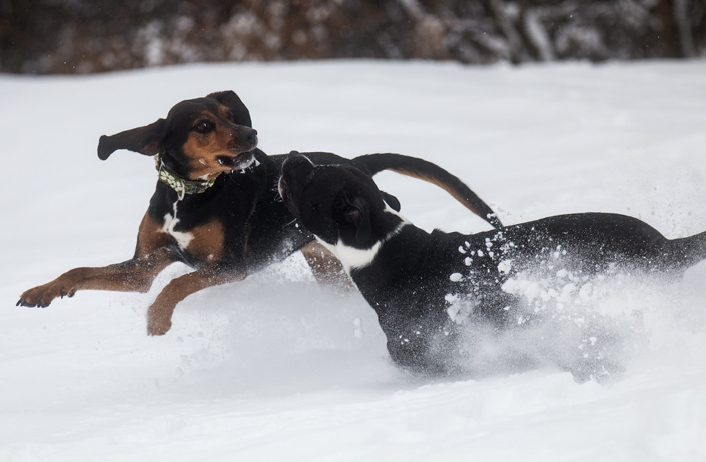 The World's Best Photos of pitbull and snow - Flickr Hive Mind