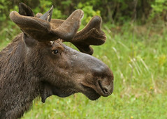 Bull Moose...#8 (Guy Lichter Photography - 4.5M views Thank you) Tags: canon 5d3 canada manitoba rmnp wildlife animals mammals moose bull