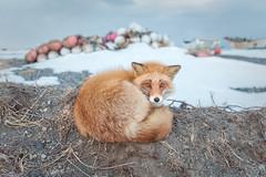 Red Fox (BP Chua) Tags: fox redfox animal wild wildlife nature nikon d750 japan kushiro hokkaido winter snow