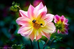 Fauna_Flora_8768 (Lothar Heller) Tags: lotharheller blüte fauna flora insekten madeira pflanze portugal