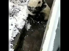 Cute panda playing show (tipiboogor1984) Tags: awwstations aww cute cats dogs funny