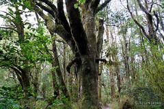 20190209-21-Podocarp forest (Roger T Wong) Tags: 2019 makarora nz newzealand rogertwong sel24105g sony24105 sonya7iii sonyalpha7iii sonyfe24105mmf4goss sonyilce7m3 southisland