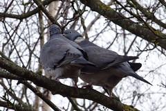 Spring feelings (Steenjep) Tags: fugl bird due pigeon tree træ