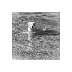 Happiness is a morning swim (jen 3163) Tags: dog swim swimming