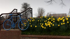 spring blooms (supertrev22) Tags: bicycle canoneos5dsr ef2470mmf28liiusm canon daffodills spring touredeyorkshire