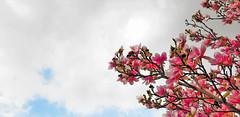Lisboa | Lisbon | Lisbonne | Lisbona | Lissabon | Лиссабон (António José Rocha) Tags: portugal lisboa natureza beleza cores árvore flores primavera céu