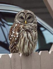 Backyard Barred Owl (Songbill) Tags: owl barredowl strixvaria backyard stlouis missouri