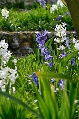 P1150405 (harryboschlondon) Tags: plantstreesandflowers naturephotography nature botanical botanicalphotography england englandphotography flowers flowersphotography harrybosch harryboschflickr harryboschphotography harryboschlondon march2019 march 2019 18thmarch2019 forbury mauve