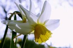 P1150392 (harryboschlondon) Tags: plantstreesandflowers naturephotography nature botanical botanicalphotography england englandphotography flowers flowersphotography harrybosch harryboschflickr harryboschphotography harryboschlondon march2019 march 2019 18thmarch2019 forbury yellow white