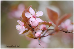 Asking For Kiss - Calder XT6611e (Harris Hui (in search of light)) Tags: harrishui fujixt1 digitalmirrorlesscamera fuji fujifilm vancouver richmond bc canada vancouverdslrshooter mirrorless fujixambassador xt1 fujixcamera fujixseries fujix fujixf60mmf24 fujiprimelens fixedlens plum flower spring blossoms season bokeh closeup macro