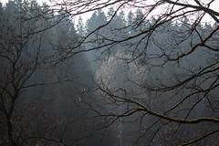 FairytaleAlbinotree (F5Photos_) Tags: germany harz okertalsperre tree albino fog sun woods earth spring