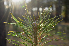 The top of a young pine. (ALEKSANDR RYBAK) Tags: изображения лес природа дерево сосна хвоя лучи боке макро крупный план солнце свет images forest nature tree pine needles rays bokeh macro closeup sun shine