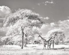 The trio (ms2thdr) Tags: africa safari tanzania wildeye tarangire giraffe infrared bw bwinfrared wildlife