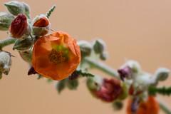 Globe Mallow (Stephen G Nelson) Tags: flower globemallow wildflower desert tucson arizona