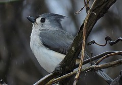 Here Comes That Rainy Day Feeling Again (Pittsburgh Cam Miller) Tags: tuftedtitmouse rainyday westernpa