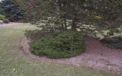 Picea abies 'Humilis', 2019 photo (F. D. Richards) Tags: harpercollectionofraredwarfconifers hiddenlakegardens tiptonmi hrh bedh michigan usa