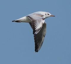Oare 30.03.19 flying B H gull