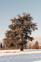 Vancouver-Winter-Walks-22 (_futurelandscapes_) Tags: vancouver winter snow cold february mountainview cemetery trees arboretum sunset evening graves sunny blue white vintage