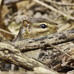 Hide & Seek (chauvin.bill) Tags: chipmunk tamron alittlebeauty coth coth5 natureinfocusgroup