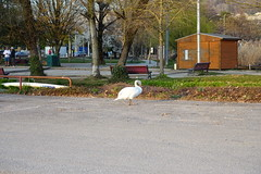 Swan @ Plage d'Albigny @ Annecy-le-Vieux (*_*) Tags: afternoon march spring printemps 2019 sunny europe france hautesavoie 74 annecy savoie annecylevieux petitport plagedalbigny lac lake lacdannecy lakeannecy animal bird