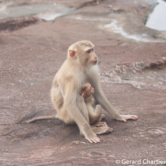 Macaca leonina (Northern Pig-tailed Macaque) (GeeC) Tags: macacaleonina tatai mammalia primates nature chordata cercopithecidae cercopithecoidea cambodia kohkongprovince animalia macaca macaques northernpigtailedmacaque oldworldmonkeys