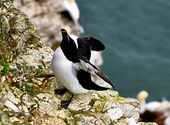 Flight preparation (rustyruth1959) Tags: feathers plumage black white beak northsea sea nest rock limestone cliffface cliffs wings lesserauk razorbill rspb bemptoncliffs coast bempton yorkshire england uk tamron16300mm nikond5600 nikon
