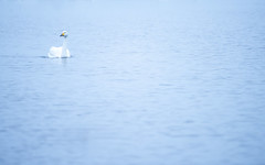 Whooper Swan (Benjamin Joseph Andrew) Tags: bird waterfowl wildfowl waterbird fens fenland winter migrant migratory visitor white cool cold freshwater lake floating