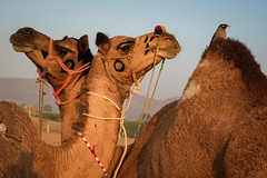 Camels (SaumalyaGhosh.com) Tags: camel camels two bird pushkar india animal animals fuji fujifilm xt2
