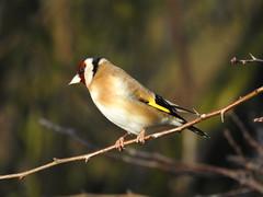 Goldfinch DSCN4712 (ianpreston) Tags: 2019 goldfinch housesparrow sparrow nationaltrust calkeabbey ticknall derbyshire
