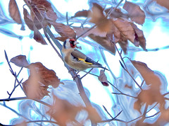 Goldfinch In Beech (Deepgreen2009) Tags: bird goldfinch beech tree leaves focus wildlife small colourful