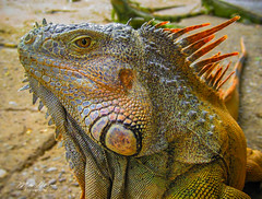 Dragon (mikederrico69) Tags: reptile animal macro colorful colors stare eye scales pose jungle forest dry face