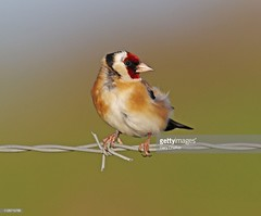 Goldfinch (Gary Chalker, Thanks for over 4,000,000. views) Tags: bird finch goldfinch pentax pentaxk3ii k3ii pentaxfa600mmf4edif fa600mmf4edif fa600mm 600mm