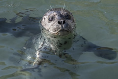 Pacific Harbor Seal (Phoca vitulina)_DDZ9551 (NDomer73) Tags: 06february2019 february 2019 yaquinaheadoutstandingnaturalarea yaquinahead newport mammal harborseal seal pacificharborseal