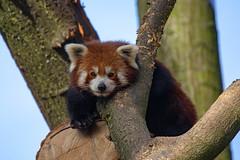 Yang (Mel.Rick) Tags: tiere animals zoo säugetiere mammals zooduisburg raubtiere carnivora kleinerpanda ailurusfulgens yang explored inexplore