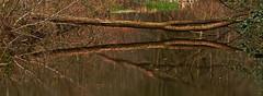 **Tree Reflection** (**klaracolor**) Tags: waterloopbos water klara klaracolor klarathomas bos forest kraggenburg volenhoven markness noordoostpolder flevoland netherlands holland wood tree trees canon canoneos7d canon7d reflecton reed spring mirror nature landscape