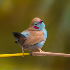 You know what? (Gabriel.Lascu) Tags: bird tinybird redcheeckedcordonbleu uraeginthus bengalus