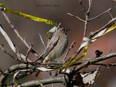 Codirosso spazzacamino - Femmina (francescociccotti1) Tags: natura parchi uccelli volatili